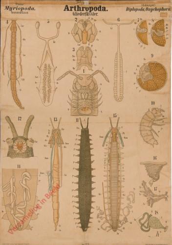 XXXVIII - Arthropoda. Myriopoda. Diplopoda, Onychophora