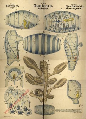 XL - Tunicata. Thaliacea. Cyclomyaria et Desmomyaria
