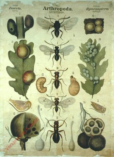 XLI - Arthropoda. Insecta. Hymenoptera