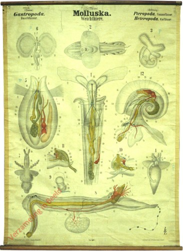 XLIII - Molluska. Gastropoda. Pteropoda, Heteropoda