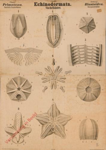 XLVI - Echinodermata. Pelmatozoa. Blastoidea