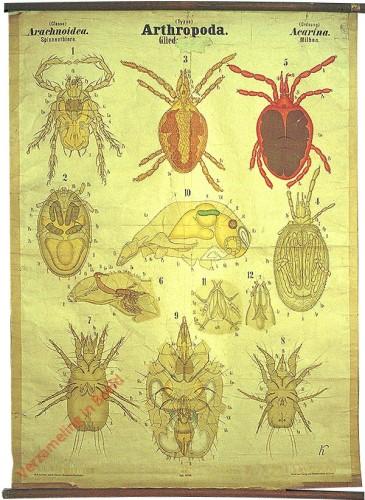 XLVIII - Arthropoda. Arachnoidea. Acarina
