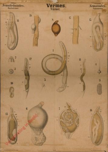 XLIX - Vermes. Nemathelminthes. Nematodes