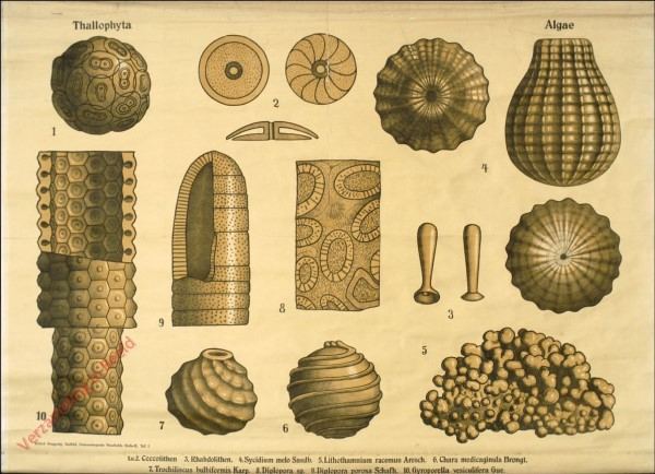 Reihe II. Taf. I - Thallophyta. Algae