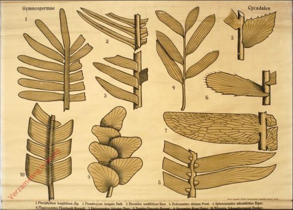 Reihe II. Taf. II - Gymnospermae. Cycadales