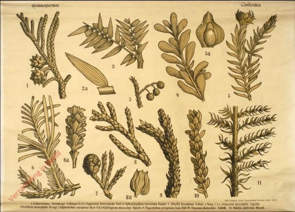 Reihe II. Taf. IV - Gymnospermae. Confiferales