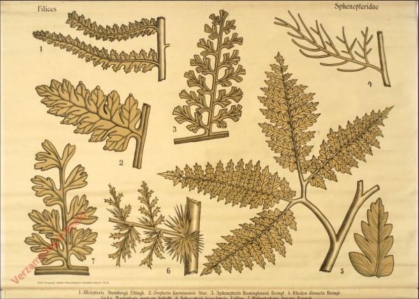 Reihe II. Taf. VI - Filices. Sphenopteridae