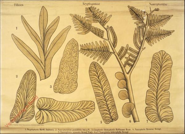 Reihe II. Taf. VII - Filices. Kryptogamae. Neuropteridae