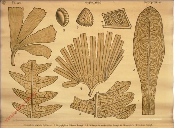 Reihe II. Taf. VIII - Filices. Kryptogamae. Dictyopteridae