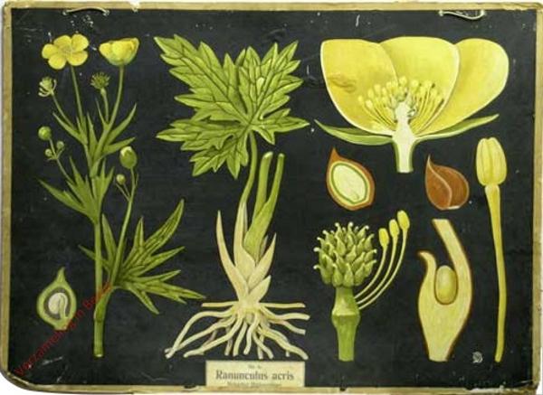 6 - Ranunculus acris. Scharfer Hahnenfuss [met kader]