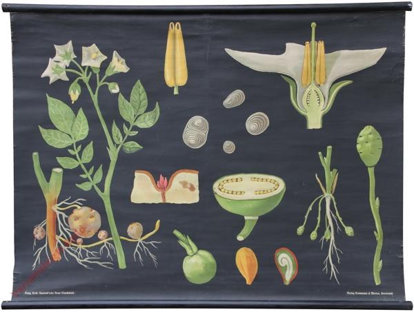 8 - Solanum tuberosum. Kartoffel