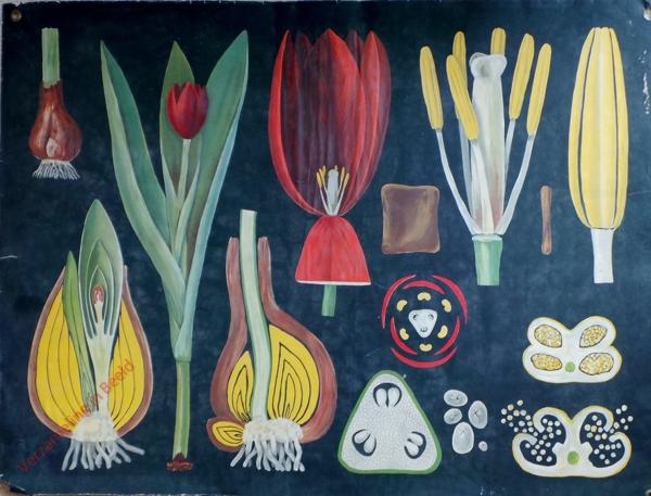 12 - Tulipa gesneriana. Garten-Tulpe [Driehoek rechts van midden met punt omlaag]
