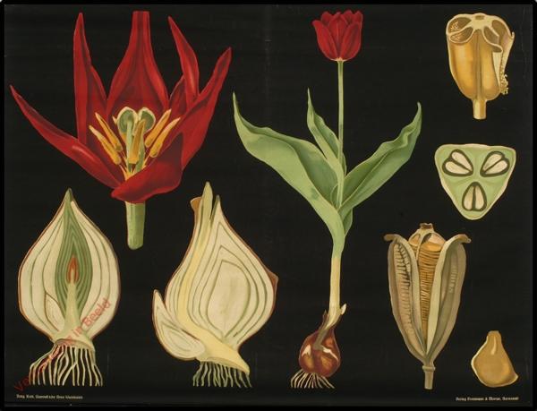 12 - Tulipa gesneriana. Garten-Tulpe [variatie]
