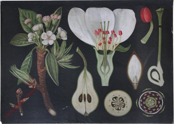13 - Pirus communis. Birnbaum