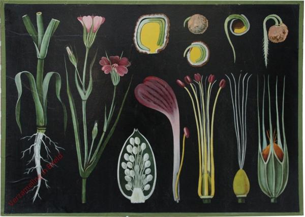 16 - Agrostemma githago. Kornrade
