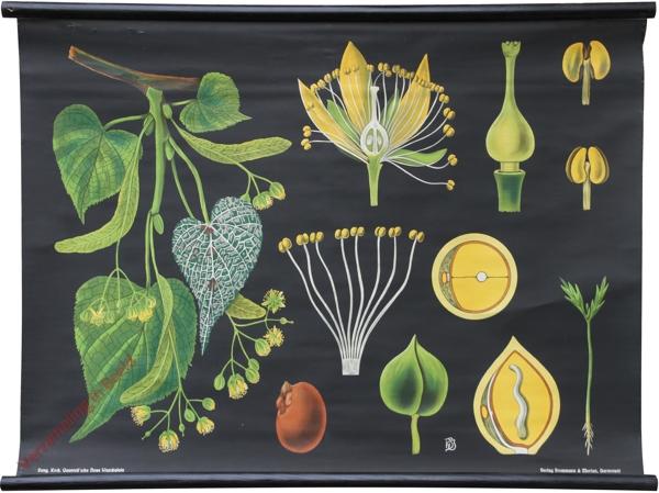 18 - Tilia parvifolia. Linde