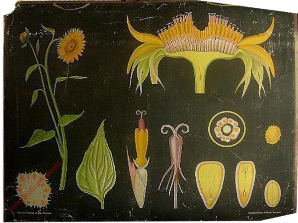 20 - Helianthus annuus. Sonnenblume