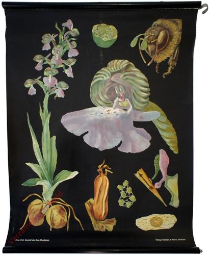 23 - Orchis morio. Knabenkraut [herschilderd]