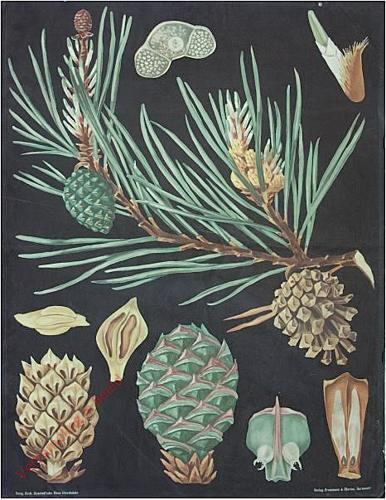 24 - Pinus silvestris. Gemeine Kiefer [Herschilderd 2, portret]