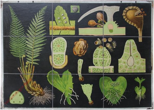 25 - Polystichum filix mas. Schildfarn