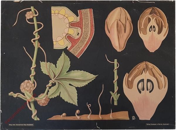 31 - Cuscuta europaea. Kleeseide