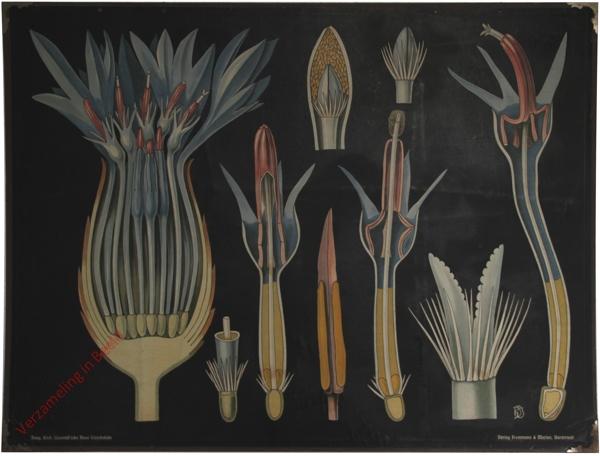 34 - Centaurea cyanus. Korblume