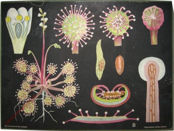 37 - Drosea rotundifolia. Sonnetau