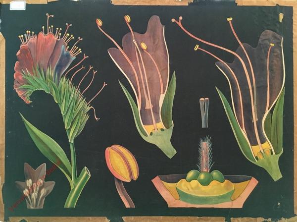 38 - Echium vulgare. Natterkopf