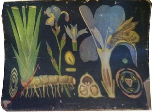 41 - Iris germanica. Schwertlilie
