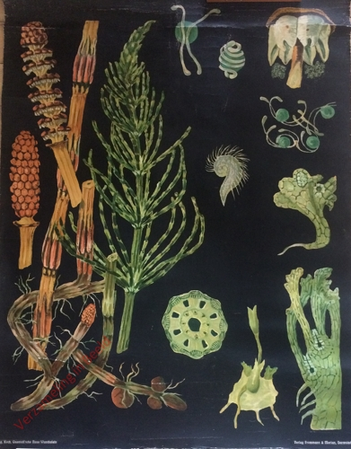 43 - Equisetum arvense. Ackerschatelhalm [Herschilderd]