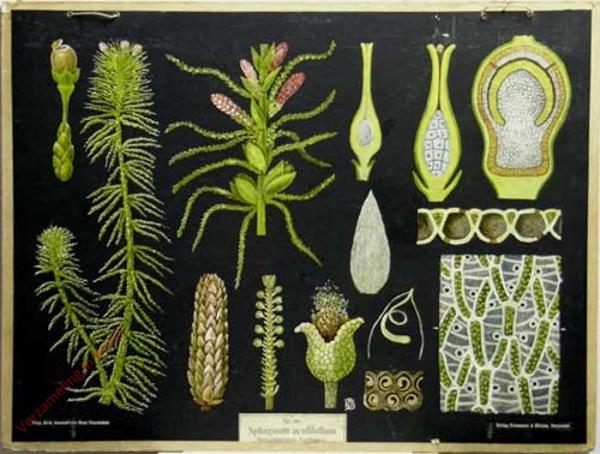 46 - Sphagnum acutifolium. Torfmoos