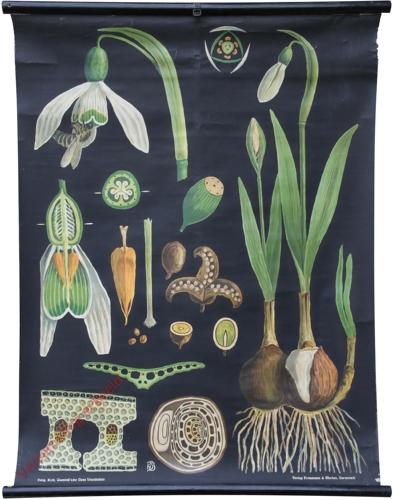 49 - Galanthus nivalis. Schneeglöckchen