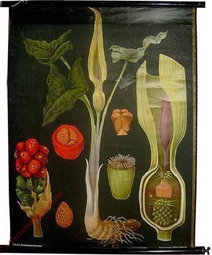 53 - Arum maculatum. Aronstab