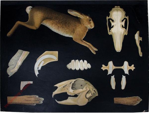 3 - Lepus timidus. Hase