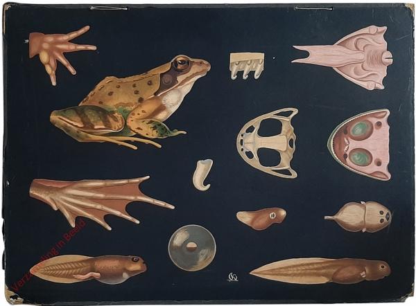 7 - Rana temporaria. Wasserfrosch