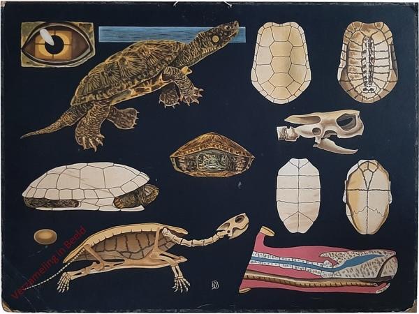 13 - Emys europaea. Europ. Sumpf-Schildkröte