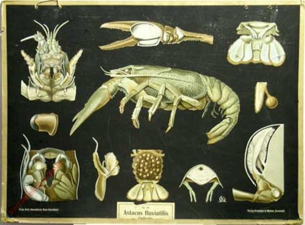 18 - Astacus fluviatilis. Flusskrebs [met kader]
