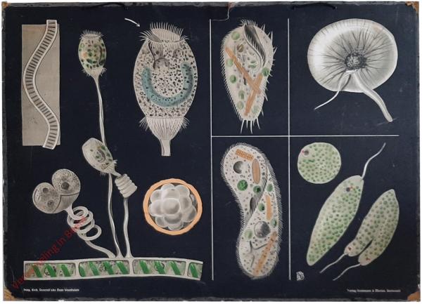 29 - Vorticella, Paramaecium, Stylonichia, Euglena, Noctiluca. Infusorien