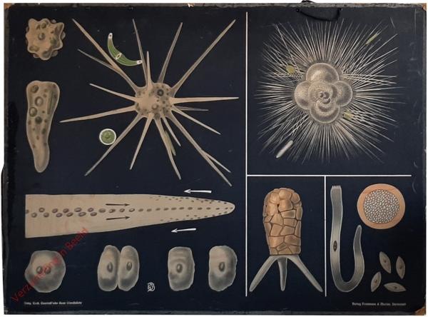 30 - Amoeba, Difflugia, Rotalisa, Gregarina. Oertiere