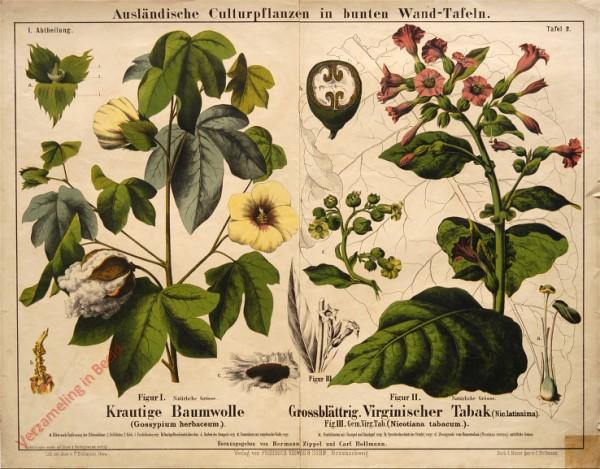 I. Abteilung, 2 - Krautige Baumwolle, Grossblättrig. Virginischer Tabak