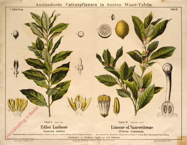 I. Abteilung, 6 - Edler Lorbeer, Limone od. Sauercitrone