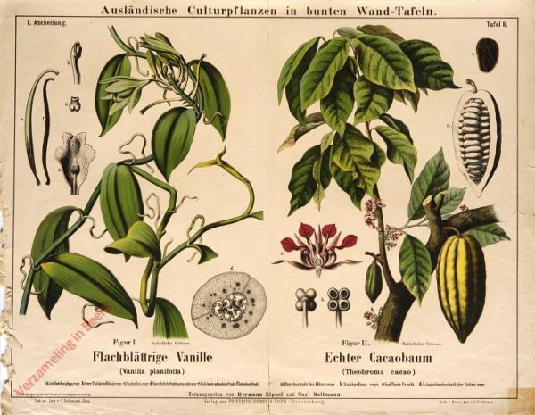 I. Abteilung, 8 - Flachblättrige Vanille, Echter Cacaobaum