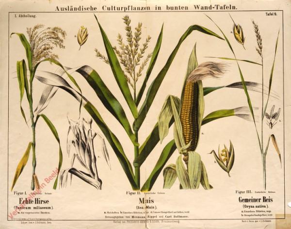 I. Abteilung, 9 - Echte Hirse, Mais, Gemeiner Reis
