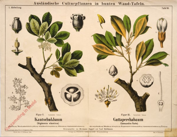 I. Abteilung, 10 - Kautschukbaum , Guttaperchabaum