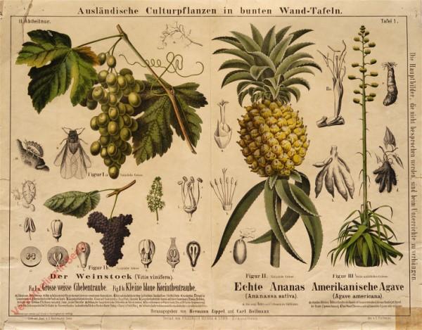 II. Abteilung, 1 - Der Weinstock, Echte Ananas, Amerikanische Agave