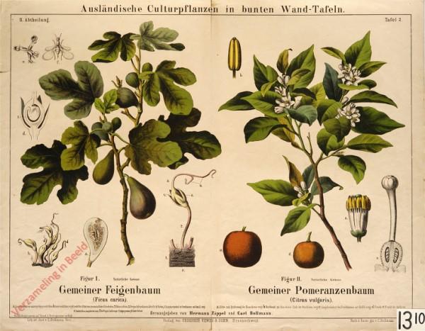 II. Abteilung, 2 - Gemeiner Feigenbaum, Gemeiner Pomeranzenbaum