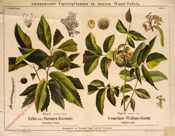 II. Abteilung, 3 - Echte oder Maronen-Kastanie, Gemeiner Wallnussbaum