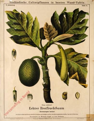 II. Abteilung, 8 - Echtrer Brotfruchtbaum