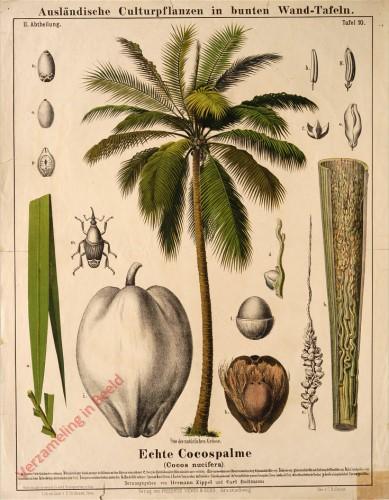 II. Abteilung, 10 - Echte Cocospalme
