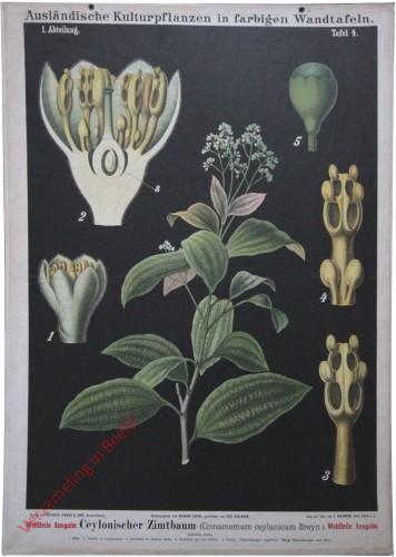 I. Abteilung, 5 - Ceylonischer Zimtbaum